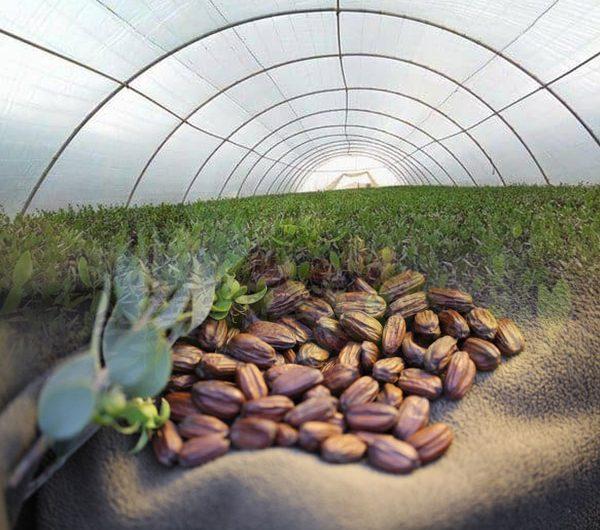 دراسة جدوى مشروع زراعة الجوجوبا
