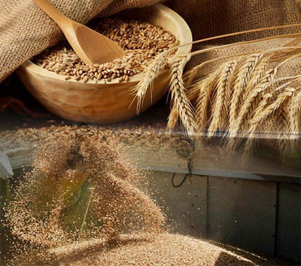 دراسة جدوى مشروع مطاحن الحبوب باستثمار 3مليون دولار