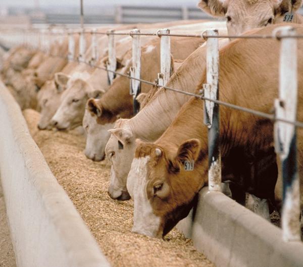 دراسة جدوى مزرعة لتسمين العجول باستثمار 4 مليون و400 ألف دولار